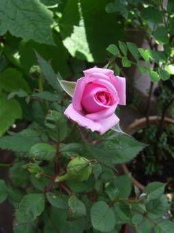 5-22薔薇2