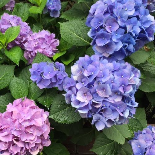 21紫陽花1