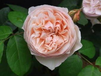 5-25薔薇2