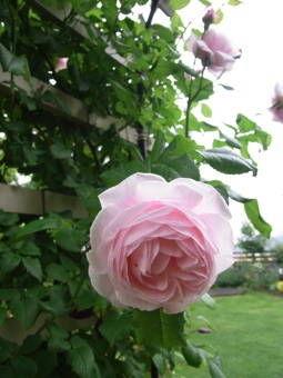 5-25薔薇5