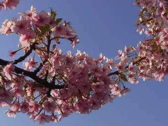 3-23かわづ桜3