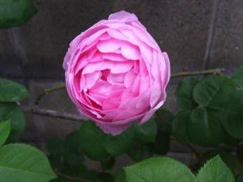 5-25薔薇4