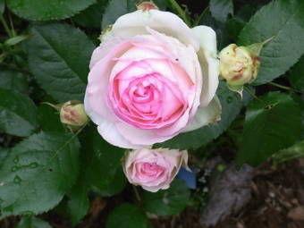 5-25薔薇3