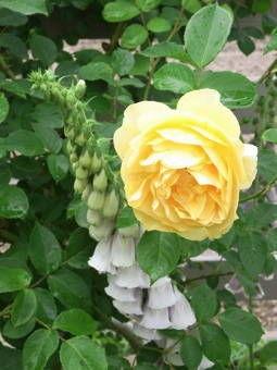 5-25薔薇7