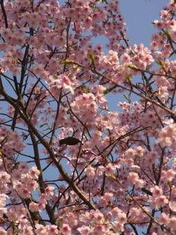3-23桜2