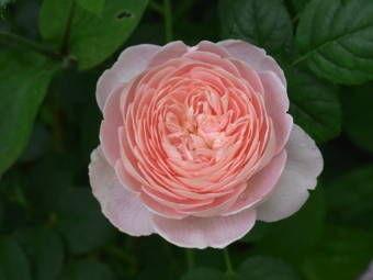 5-25薔薇