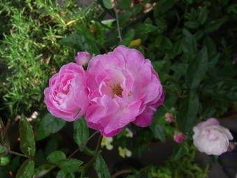 5-22薔薇1