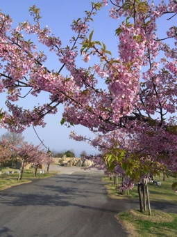 3-23かわづ桜