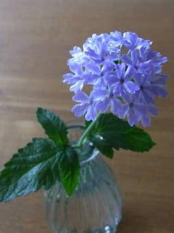 6-27バーベナ花かすみ*