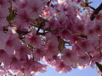 3-23かわづ桜2
