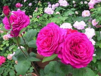 5-25薔薇6