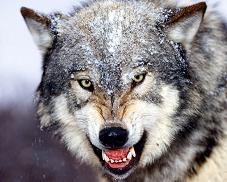 威嚇するオオカミ