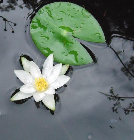 2010あじさい寺の水連~2