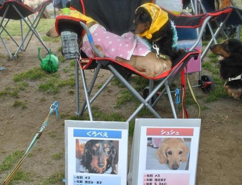 湘南犬親会4月4日看板犬してる貴ちゃん1