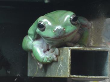 greenfrog.jpg