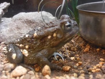 spottedfrog.jpg