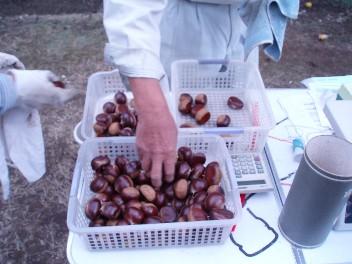 chesnutsort.jpg