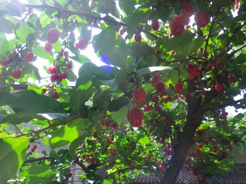 梅に続いて、ビービーの収穫祭!