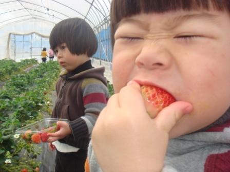 イチゴ狩りをするふたコブ。
