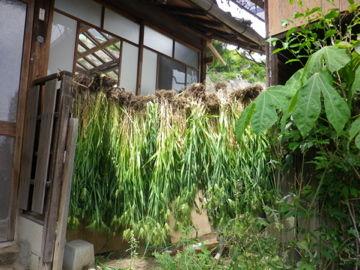 大麦の収穫。