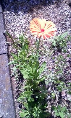 カレンデュラ 開花