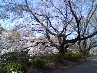 20060330sakura4.jpg