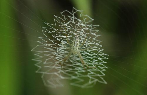 キンイロエビグモ?