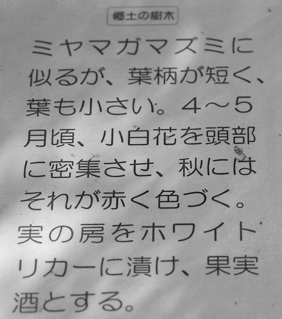 miyamagamazumi2.jpg