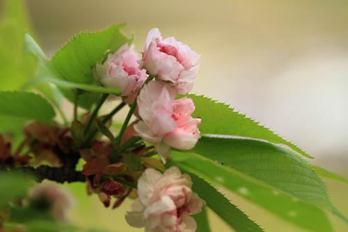 兼六園菊桜1