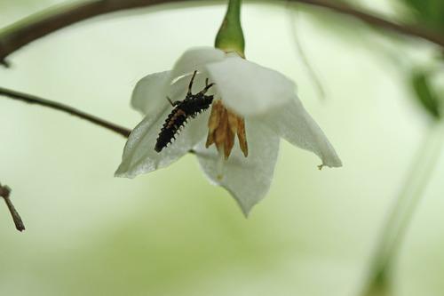ナミテントウの幼虫