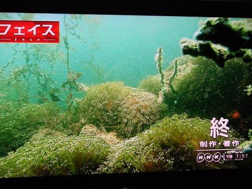 (周防大島ニホンアワサンゴ)撮影平成25年1月25日 061