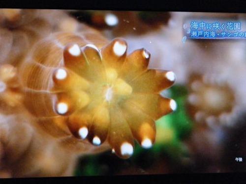 (周防大島ニホンアワサンゴ)撮影平成25年1月25日 033