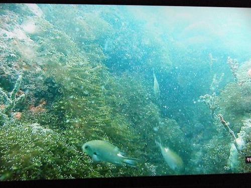 (周防大島ニホンアワサンゴ)撮影平成25年1月25日 058