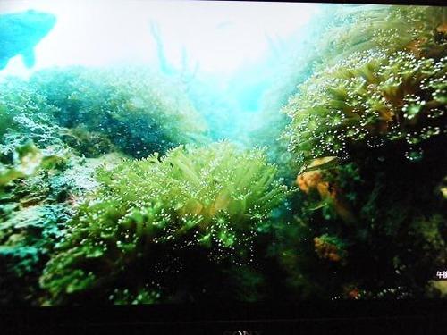(周防大島ニホンアワサンゴ)撮影平成25年1月25日 057