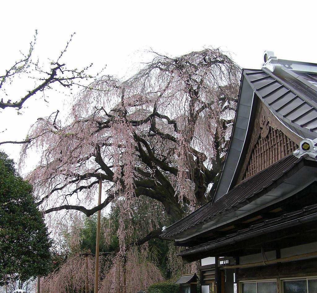itozakura3.jpg