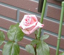 Rose001_m.jpg