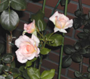 Rose0611a.jpg