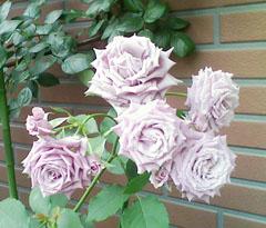 rose01_m.jpg