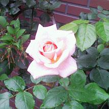 rose02_m.jpg