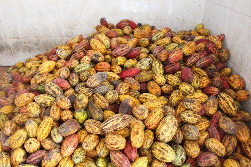cacao6