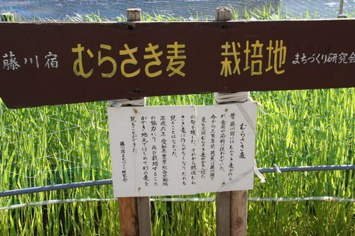 IMG_0173 東海道筋でみた紫麦の畑