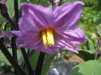 IMG茄子の花0001