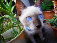IMG青い目の猫0001