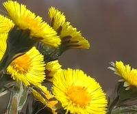 フキタンポポ-黄色