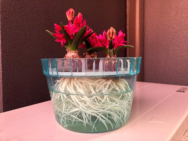 Hyacinths 210210