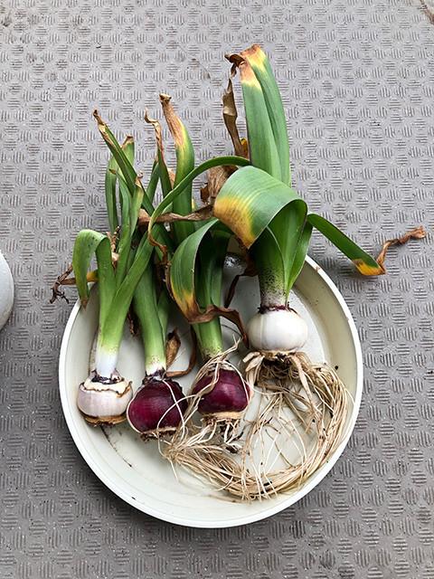 Hyacinth 190609