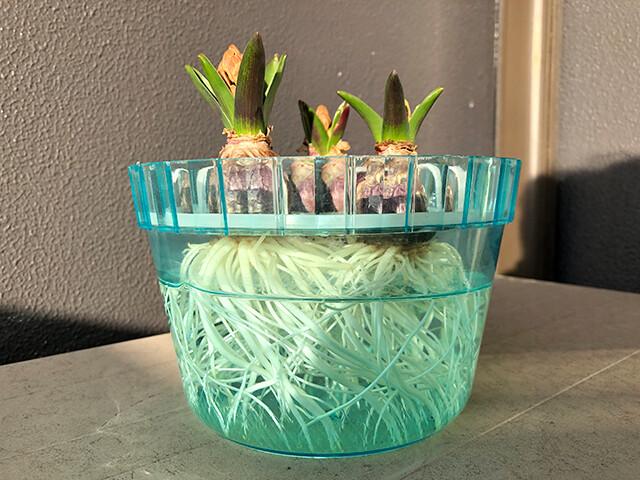 Hyacinths 210129