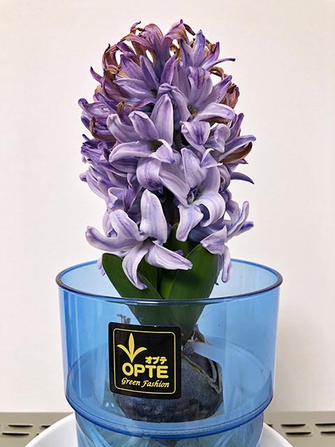Hyacinth 190207