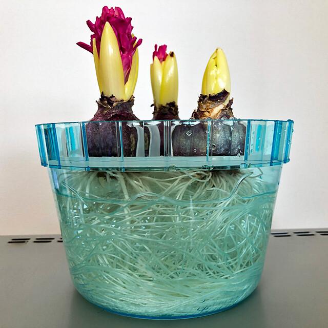 Hyacinth 200113