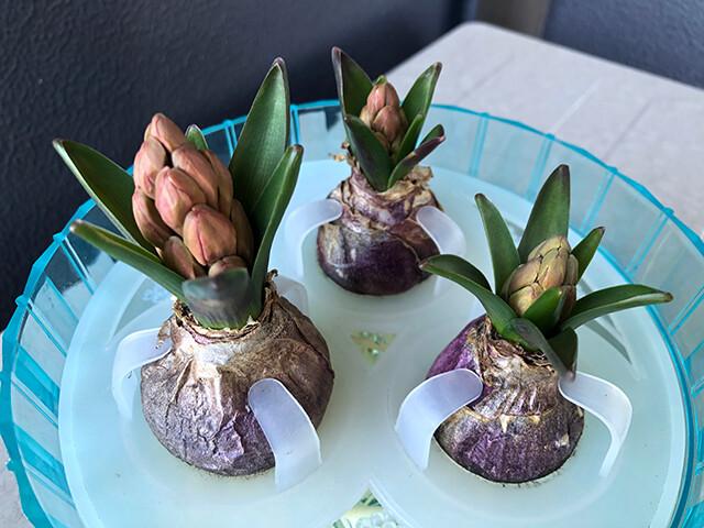 Hyacinths 210130